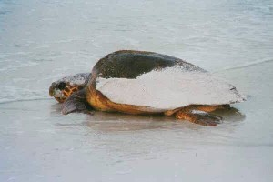 Sea Turtle Nesting on Anna Maria Island
